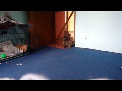 Pomeranian wants to go out ( dogs vlog Nepal )  funny Pomeranian video