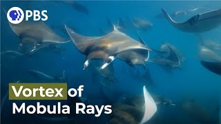 "Mobula Rays ""Vortex Feeding"" Caught on Camera"