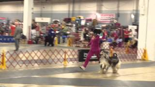 Afghan Hound Max in 2015 Dog Show