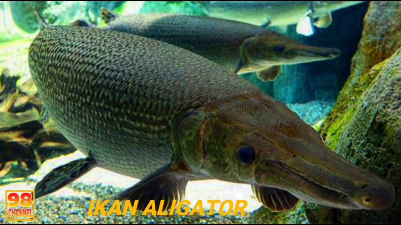 Jenis Ikan Aligator Gar Youtube