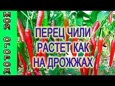 Перец чили растет как на дрожжах