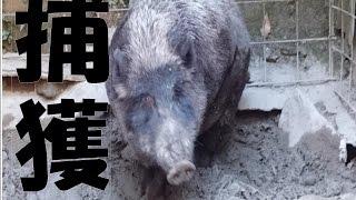 ここは山奥で捕獲した猪を飼育されているのを動画で撮影しました。