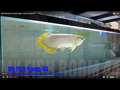 [My Fish Room 44] [4k] Gold (Yellow Tail) Arowana Droop Eye Update