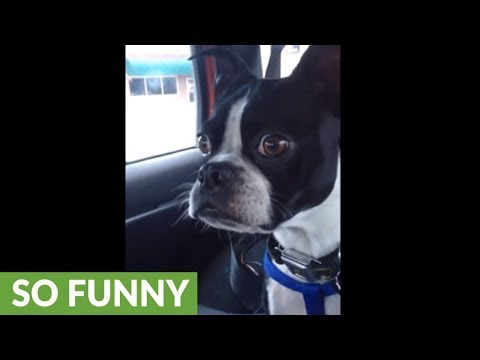 Boston Terrier does his best goat and dolphin impressions