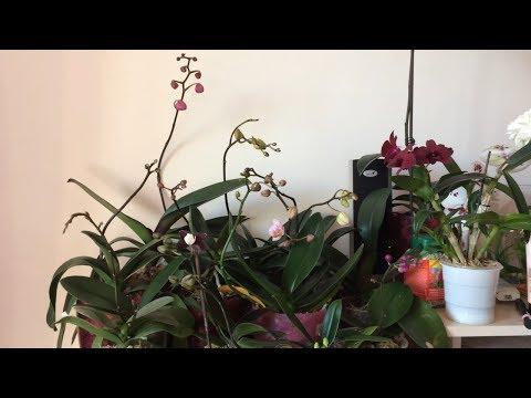 Все орхидеи в цветоносах! Как заставить цвести орхидею фаленопсис в домашних условиях?
