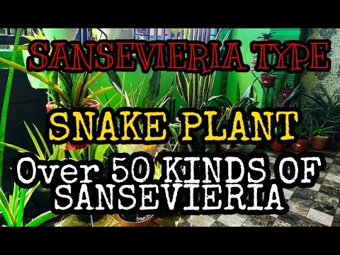 OVER 50 KINDS OF SANSEVIERIA PLANT  ||  SNAKE PLANT TYPES