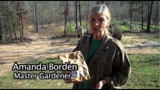 Planting Asparagus Crowns in Alabama