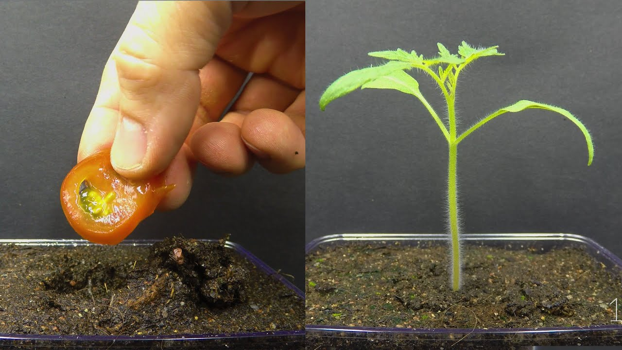 Download Growing Tomato Plant From Tomato Slice Time Lapse