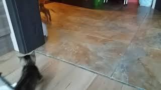 Котёнок девочка. Серая, полосатая. 10.10.2017