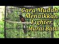 Menaikkan Fighter Murai Batu Dengan Cepat  Mp3 - Mp4 Download