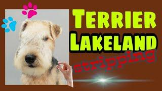 STRIPPING en PERROS de PELO DURO ➡ Ejemplo con un Lakeland TERRIER (cachorro)
