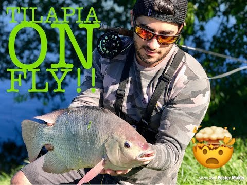 Record Blue Tilapia On FLY???