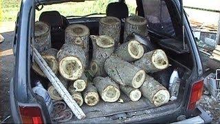 вешенка на пнях, Экстенсивный способ выращивания грибов, на пнях (вешенка)