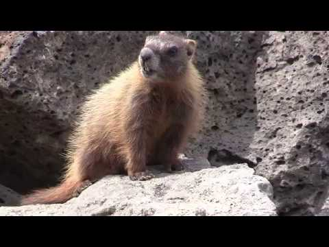 Yellow Bellied Marmot Calls - Marmot Alarm Call Up Close Near Yellowstone
