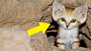 Turns Out There's A Species Of Wild Cat Whose Adults Look Like Kittens Their Entire Lives