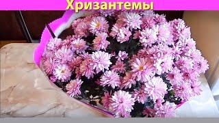 видео Размножение комнатной хризантемы