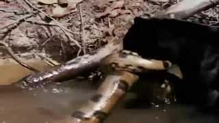 ПРИКОЛЫ ПРО ЖИВОТНЫХ бои пантеры и огромного питона юа