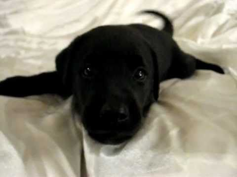 Playful Barking Black Labrador Retriever Puppy 37 Days Old