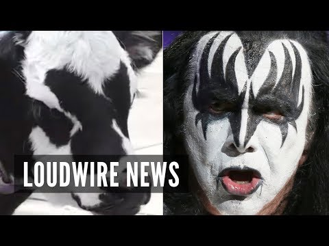 Baby Cow Looks Just Like Gene Simmons of KISS