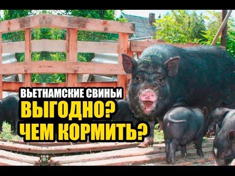 Фото вислоухой вьетнамской свиньи