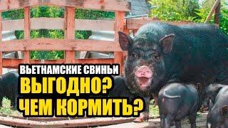 Вьетнамские свиньи. Расход корма. Выгодно или нет?
