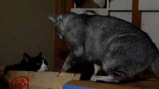 一方的にやられているトムにゃん 「シャー」も「ぅう・・・」もない、猫の喧...
