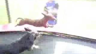 Dachshund Frito Feet Runs Trampoline