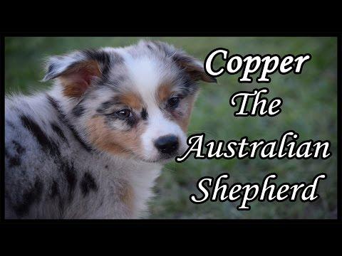 Bringing Home an Australian Shepherd Puppy
