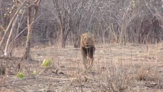 Lion Charge Tourists on Walking Safari