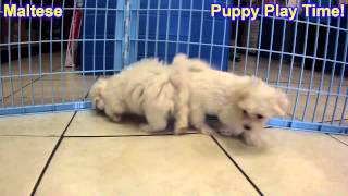 Maltese, Puppies, For, Sale, In, South Bend, Indiana, County, In, Allen, Hamilton, St  Joseph, Vande