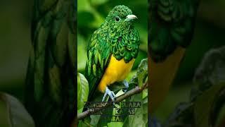 Download MASTERAN/pancingan suara burung kapas tembak ngerol, BURUNG YANG LAIN PASTI LANGSUNG NYAUT
