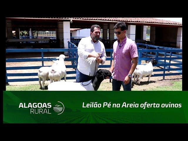 Leilão Pé na Areia oferta ovinos das raças dorper e white dorper
