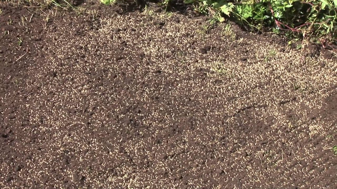 How To Plant Lawn Seed You