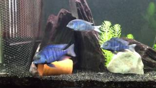 """My blue moorii fish acting! Funny """"random audio"""" put to video clip and works! Sort of."""