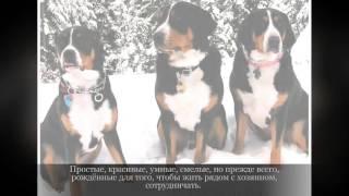 Зенненхунг Крупные породы собак