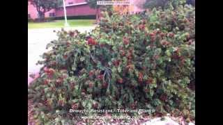 Drought Resistant Plants A - L