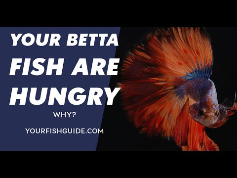 How Long Can A Betta Fish Go Without Eating ~ You MUST Watch Before Your Feed Your Betta