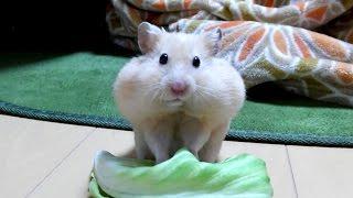 怒るハムスターキャベツに八つ当たりする!おもしろ可愛いハムスターThe funny hamster with which I got angry is cross with cabbage thumbnail
