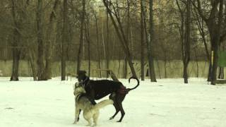 игры собак. грей и лайка. март 2015