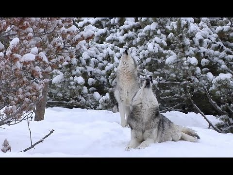Yellowstone, WY - Winter Animals