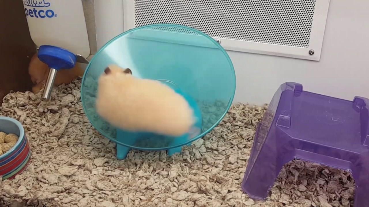 Www Hamster Video