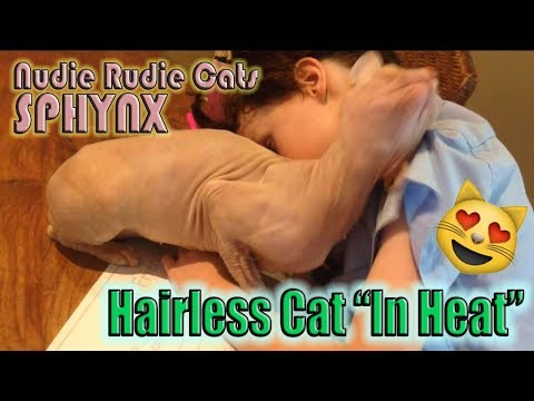 "CUTE SPHYNX ""HAIRLESS CAT"" IN SEASON (""IN HEAT"")"