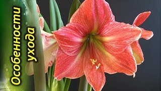 Амариллис – секреты ухода и выращивания в домашних условиях.