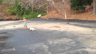 Playa Ocotal Costa Rica Bull Terrier Playing Soccer