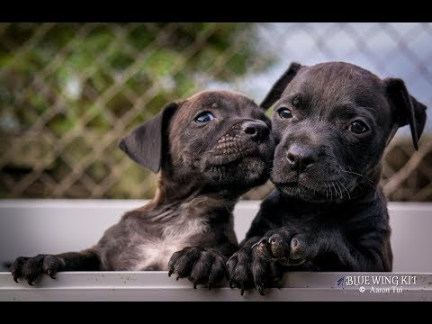 Puppy Rehoming - Pitbull Lab ... mix
