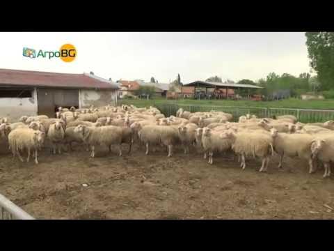 Овце с високо икономическо значение