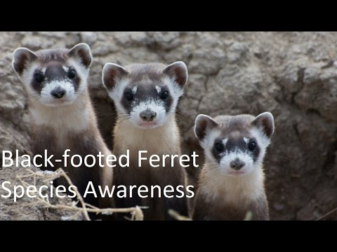 The Endangered Black-footed Ferret