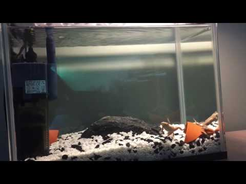 Small African dwarf frog tank (update)