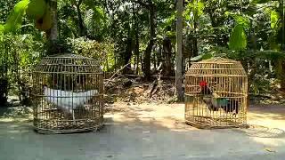 Ayam Bekisar Putih VS Ayam Bekinadori  ( Bekisar Onagadori ) By : www rumahayamhias com