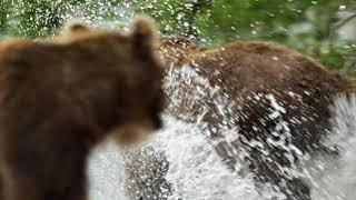 Трейлер «Ведмеді Камчатки. Початок життя», 55 хвилин, Росія, 2018